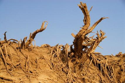 柳树的树根
